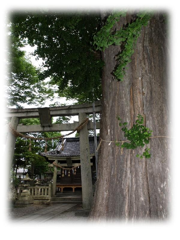 式内社長岡神社の銀杏